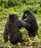 Mountain Gorillas, Hira Group  8