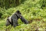 Mountain Gorillas, Hira Group  4