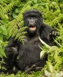 Mountain Gorillas, Hira Group  3