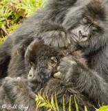 Mountain Gorilla,  Kwitonda Gorilla Group