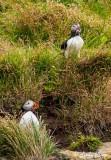 Puffins,  Dyrholey Cliffs  1