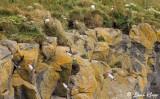 Puffins,  Dyrholey Cliffs  2