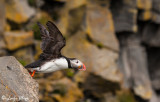 Puffin,  Dyrholey Cliffs  5