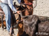 Steer-tailing, Cuban Rodeo  5