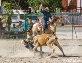 Steer Wrestling, Cuban Rodeo  4