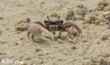 Ghost Crab  4