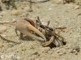 Ghost Crab  1