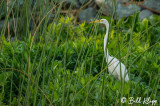 Great Egret in Tules  1