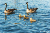 Canada Geese  3