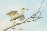 Snowy Egret  13