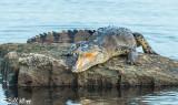 Endangered American Crocodile  5