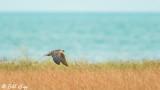 Peregrine Falcon, Hawk Mania  1