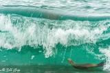 Southern Sea Lion, Estancia La Ernestina  15