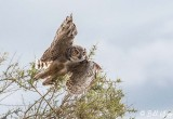 Great Horned Owl, Estancia La Ernestina  6