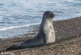 Southern Elephant Seal, Estancia La Ernestina  3