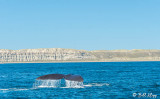 Southern Right Whale, Puerto Piramides  6