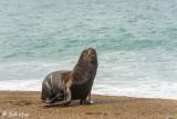Southern Sea Lion, Estancia La Ernestina  1