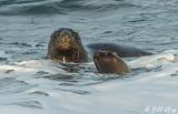Southern Sea Lion, Estancia La Ernestina  12