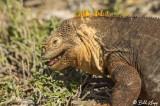 Land Iguana, North Seymour  4