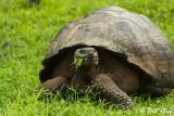 Galapagos Giant Tortoise, El Manzanillo, Santa Cruz  10