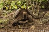 Galapagos Giant Tortoise, Puerto_Baquerizo, Santa Cruz  2