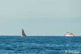 Humpback Whale Breaching  5
