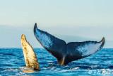 Humpback Whale Pec & Tail  1