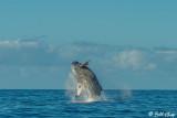 Humpback Whale Breaching  3