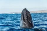 Humpback Whale Spyhop  1