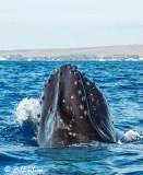 Humpback Whale Spyhop  3