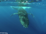 Humpback Whale Underwater  12