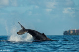 Humpback Whale Tail Slap  1