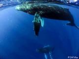 Humpback Whales Underwater  13