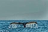 Humpback Whale Fluke  7