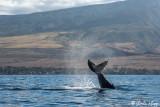 Humpback Whale Tail Slap  4