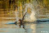 Beaver Tail Slap 1