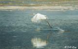 Great White Heron   1
