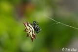 Orb-Weaver Spider  1