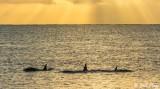 Orca Sunrise  1
