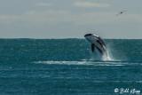 Orca Breaching  1