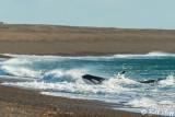 Orca Practicing Beach Stranding  1