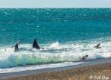 Orca Attack  4
