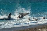 Orca Attack  5