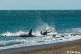 Orca Attack  6