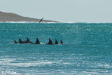 Orcas on the move to Attack a Southern Right Whale  1