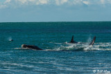 Orcas  Attacking a Southern Right Whale  3