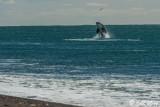 Orca Breaching  2