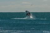 Orca Breaching  3
