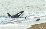 Orca Attack  8