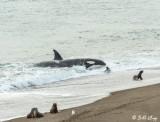 Orca Attack  7